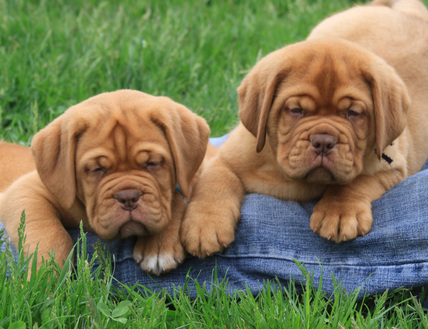 Feed Pictures - French Mastiff Puppies For Sale In Saskatoon ...